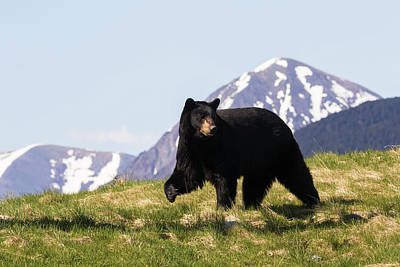 Mature Black Bear  Ursus Americanus Poster by Doug Lindstrand