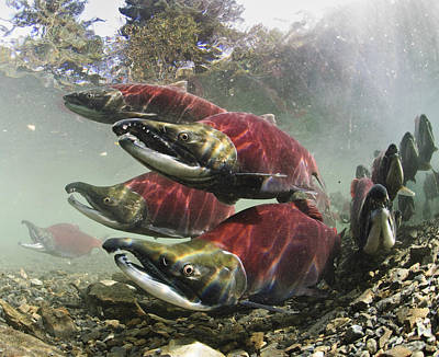 Mature Male Sockeye Salmon On Spawning Poster
