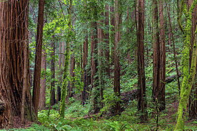 Mature Redwood Forest In Muir Woods Poster