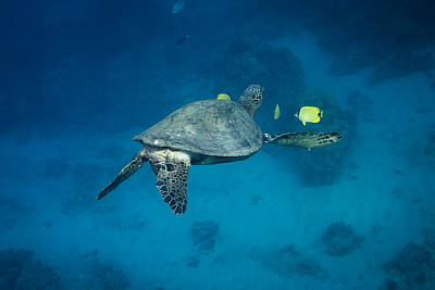 Maui Sea Turtle Cleaning Rear View Poster by Don McGillis