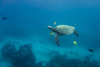 Maui Sea Turtle Cleaning Station Distant Poster by Don McGillis