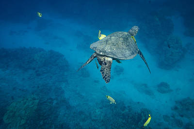 Maui Sea Turtle Cleaning Station Poster by Don McGillis