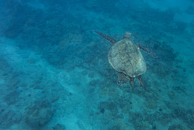 Maui Sea Turtle Comes In For A Landing Poster by Don McGillis