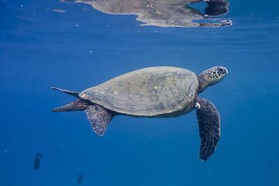 Maui Sea Turtle Deep Blue Poster