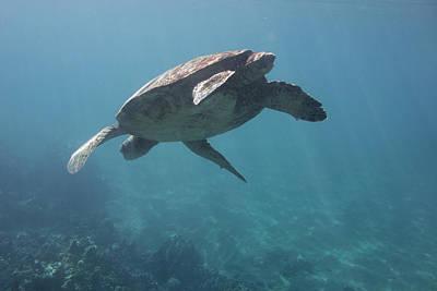 Maui Sea Turtle Dives Poster