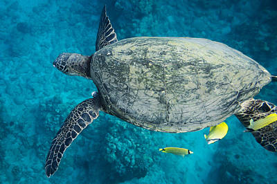 Maui Sea Turtle Flys In To A Cleaning Station Poster by Don McGillis