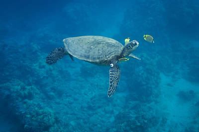 Maui Sea Turtle Head Up Cleaning Poster by Don McGillis