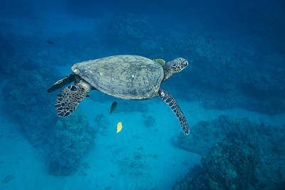 Maui Sea Turtle Suspended With Tail Tucked Poster by Don McGillis