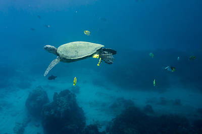 Maui Sea Turtle Suspened At Cleaning Station Poster by Don McGillis