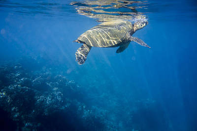 Maui Sea Turtle Takes A Breath At The Surface Poster by Don McGillis