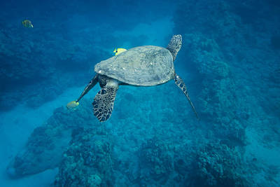Maui Sea Turtle Tucks His Tail For Cleaning Poster by Don McGillis