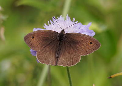 Meadow Brown Butterfly Poster