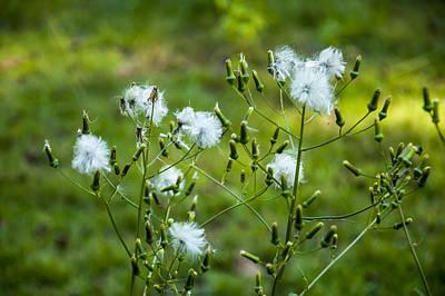 Meadow Hawkweed Seeds Poster