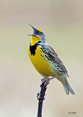 Meadowlark Singing Poster by Stephen  Johnson