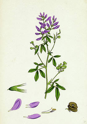Medicago Sativa Common Lucerne Poster by English School