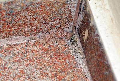 Mediterranean House Gecko On A Wall Poster by Bob Gibbons