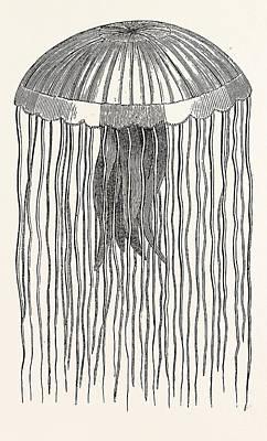 Medusa Pellucens. One Quarter The Size Of Nature Poster