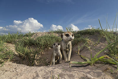 Meerkat And Baby At Burrow Botswana Poster