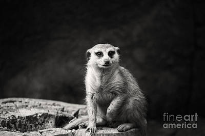 Meerkat-black And White Poster