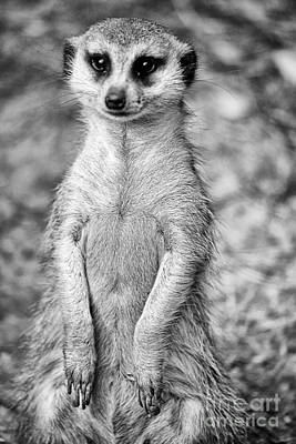 Meerkat-black And White V2 Poster