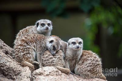 Meerkat Family Poster by Ray Warren