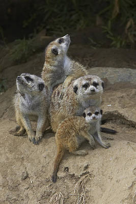 Meerkat Group Huddling Together Poster