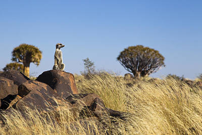 Meerkat In Quiver Tree Grassland Poster by Vincent Grafhorst