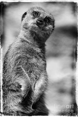 Meerkat Poster by Jill Battaglia