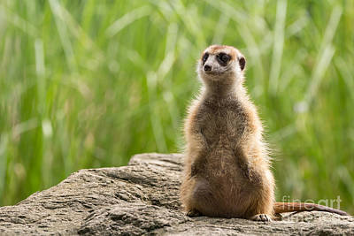 Meerkat Looking Around Poster