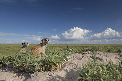 Meerkat Mother And Baby  Botswana Poster