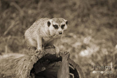 Meerkat On A Log Poster by Douglas Barnard