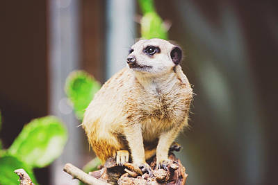 Meerkat On Branch Poster by Pati Photography