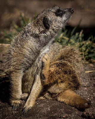 Meerkat Scratch That Itch Poster by Ernie Echols