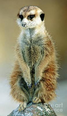 Meerkat Suricata Suricatta Poster by Millard H. Sharp