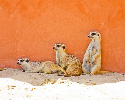 Meerkats Poster by Pati Photography