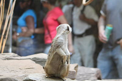 Meerket - National Zoo - 01131 Poster by DC Photographer