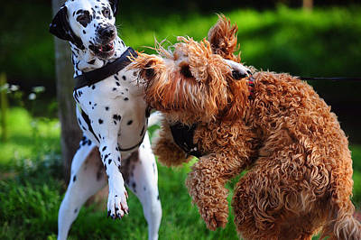 Meet Up With Friend.  Kokkie. Dalmation Dog Poster by Jenny Rainbow