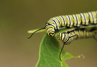 Meeting In The Middle - Monarch Caterpillars Poster