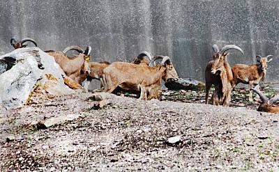 Meeting Of Barbary Sheep Poster