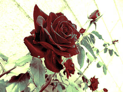 Melancholy Rose Poster