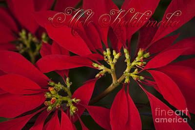 Mele Kalikimaka - Poinsettia  - Euphorbia Pulcherrima Poster by Sharon Mau
