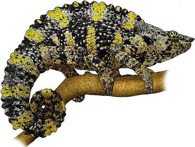 Mellers Chameleon Poster by Roger Hall