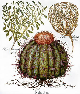 Melocactus, 1613 Poster by Granger