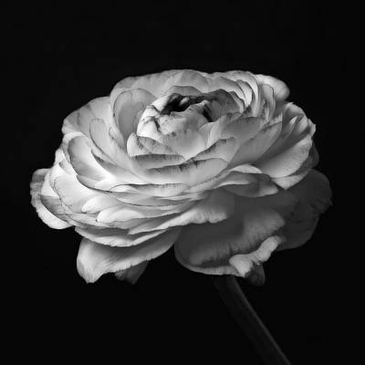 Black And White Roses Flowers Art Work Macro Photography Poster by Artecco Fine Art Photography