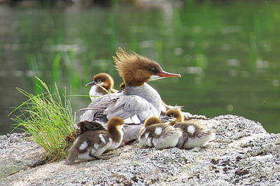 Merganser With Chicks Poster by Acadia Photography