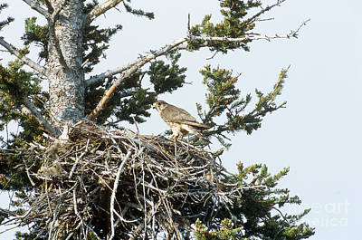 Merlin In Nest Poster by William H. Mullins