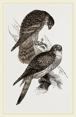 Merlins Poster by Litz Collection