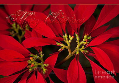Merry Christmas - Poinsettia  - Euphorbia Pulcherrima Poster by Sharon Mau