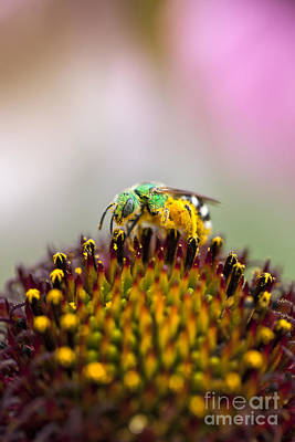 Metallic Green Bee Macro On A Coneflower Poster