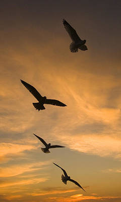 Mew Gulls At Sunset La Jolla California Poster